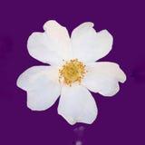 Flor de Dogrose Foto de archivo libre de regalías
