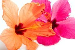 Flor de dois hibiscus Fotos de Stock