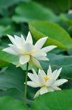 Flor de dois lótus brancos Fotografia de Stock Royalty Free