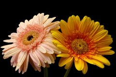 Flor de dos gerbera Imagen de archivo