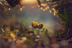 Flor de dos primaveras Foto de archivo libre de regalías