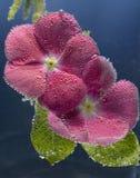 Flor de dos rojos Fotos de archivo libres de regalías