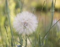 Flor de Dubius del Tragopogon Fotografía de archivo