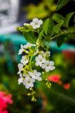 Flor de Duranta foto de archivo libre de regalías