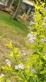 Flor de Duranta imagem de stock