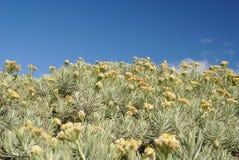 Flor de Edelweiss imagem de stock