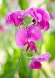 Flor de ervilhas doces Fotografia de Stock Royalty Free
