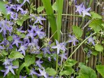 Flor de escalada lilás Imagem de Stock Royalty Free
