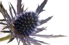 Flor de Escocia 1 Imágenes de archivo libres de regalías