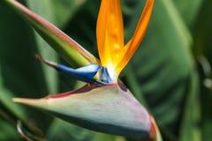 Flor de Estrelicia Imagem de Stock Royalty Free