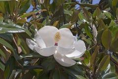 Flor de Exmouth da magnólia do sul Fotografia de Stock
