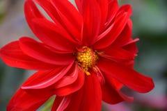 Flor de Feverfew Fotos de archivo libres de regalías