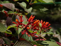 Flor de Firebush fotos de archivo libres de regalías