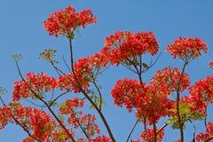 Flor de Flamboyan Foto de Stock Royalty Free