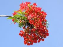 Flor de Flameboyant imágenes de archivo libres de regalías