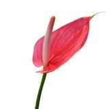 Flor de flamenco Imágenes de archivo libres de regalías