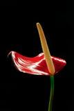 Flor de flamingo do antúrio Imagem de Stock