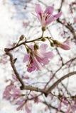 Flor de flores cor-de-rosa em um ramo de árvore da mola Feche acima do tiro fotos de stock