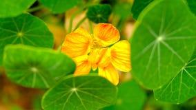 Flor de florescência Fotos de Stock Royalty Free