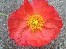 Flor de florescência Imagem de Stock Royalty Free