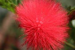 Flor de florescência fotos de stock
