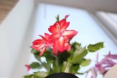 Flor de florescência Fotografia de Stock Royalty Free