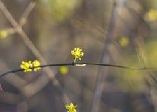 Flor de florescência amarela em um ramo imagem de stock royalty free