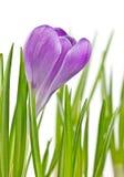 Flor de florescência bonita do açafrão da mola Imagem de Stock Royalty Free