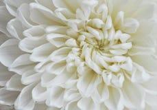 Flor de florescência branca do áster imagem de stock royalty free