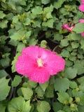 Flor de florescência cor-de-rosa fotografia de stock