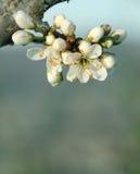 Flor de florescência da árvore Fotografia de Stock