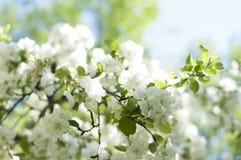 flor de florescência da árvore de Apple Fotos de Stock
