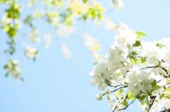flor de florescência da árvore de Apple Foto de Stock