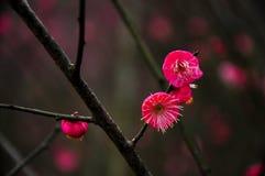 A flor de florescência da ameixa no jardim Fotos de Stock Royalty Free