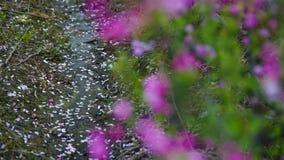 Flor de florescência da begônia foto de stock
