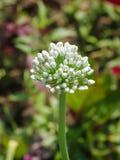 Flor de florescência da cebola com fundo da natureza Imagem de Stock