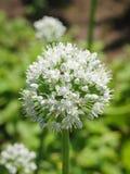 Flor de florescência da cebola com fundo da natureza Foto de Stock Royalty Free