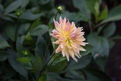 Flor de florescência da dália da mola no macro exterior do close-up do fundo verde Foto de Stock