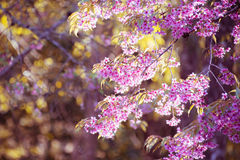 Flor de florescência da flor de Sakura na montanha Chiang Rai de Pangkhon, Foto de Stock