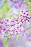 Flor de florescência da flor de Sakura na montanha Chiang Rai de Pangkhon, Imagem de Stock