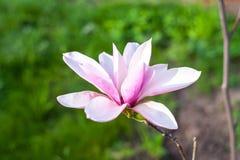 Flor de florescência da magnólia Fotos de Stock