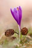 Flor de florescência da mola do açafrão Foto de Stock