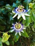 Flor de florescência da paixão imagens de stock
