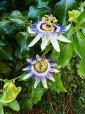 Flor de florescência da paixão foto de stock royalty free
