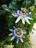 Flor de florescência da paixão imagem de stock