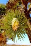 Flor de florescência da palma do deserto imagens de stock royalty free