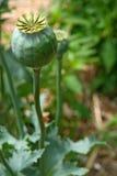 Flor de florescência da papoila foto de stock royalty free