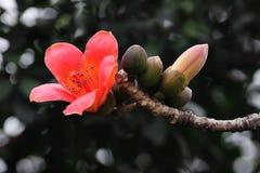 Flor de florescência da sumaúma na mola imagem de stock royalty free