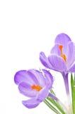 Flor de florescência do açafrão Fotografia de Stock Royalty Free