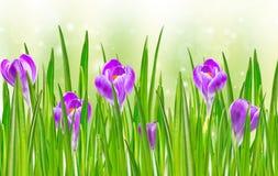 Flor de florescência do açafrão da mola Imagem de Stock